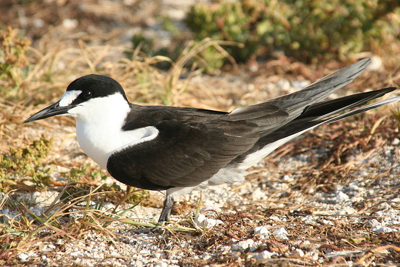 Sooty tern (US Fish and Wildlife Service photo)