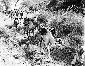 Ethiopian camel troops transporting supplies through the bush, Ethiopia, 22 January 1941 (British government photo)
