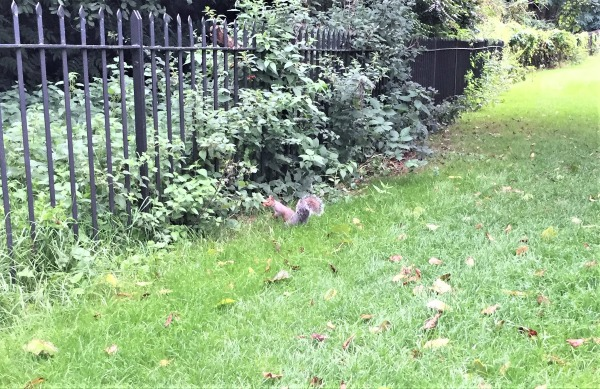Squirrel - or Nazi spy? Kensington Gardens, London, September 2017 (Photo: Sarah Sundin)